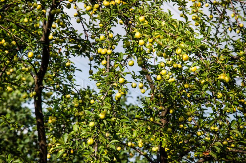 Branches with ripe yellow cherry plum fruit. Cherry plum tree with fruits. Growing in the garden stock photo
