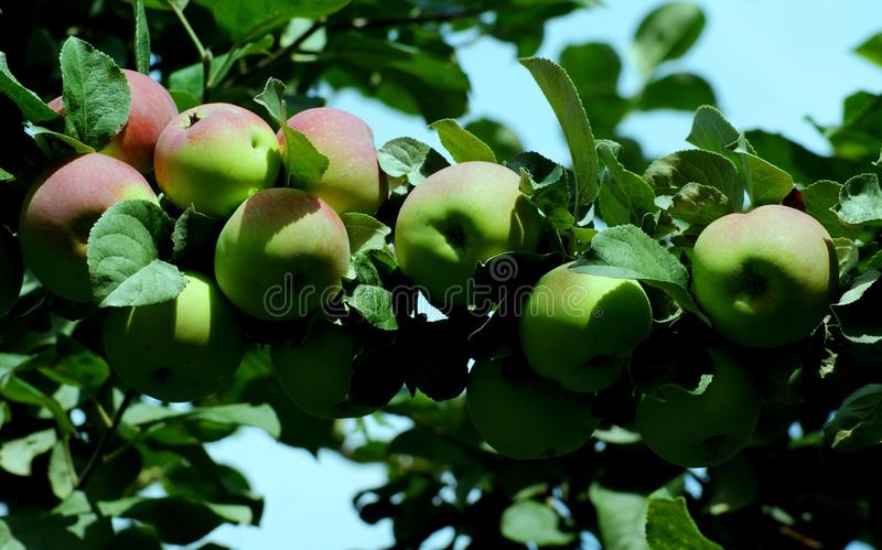 Оn the branches ripen juicy fruits. stock photography
