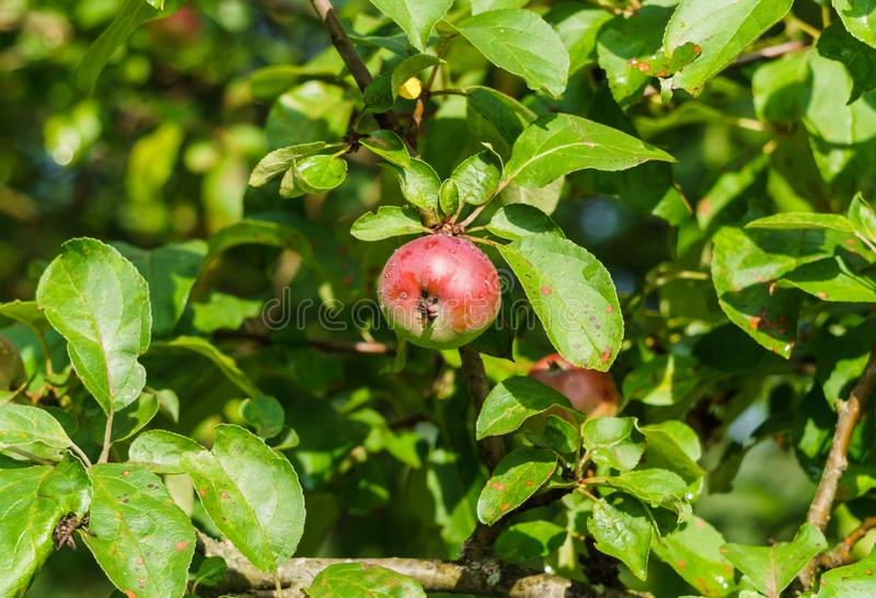 Branches of ripening apples in a village garden.  stock images