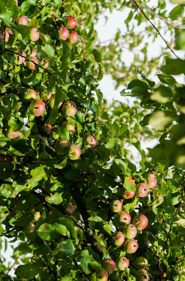 Branches of ripening apples in a village garden.  stock photos