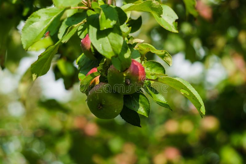 Branches of ripening apples in a village garden.  stock photo