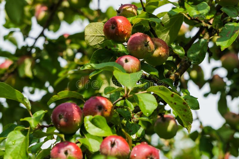 Branches of ripening apples in a village garden.  royalty free stock photo