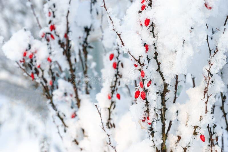 Branches rouges de baies de berbéris sous la neige image libre de droits