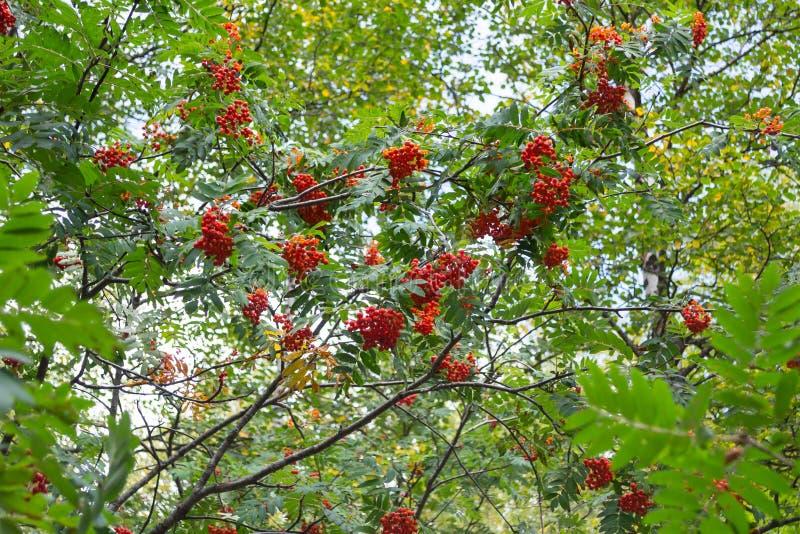 Branches rouges de sorbe dans la forêt d'automne photo stock