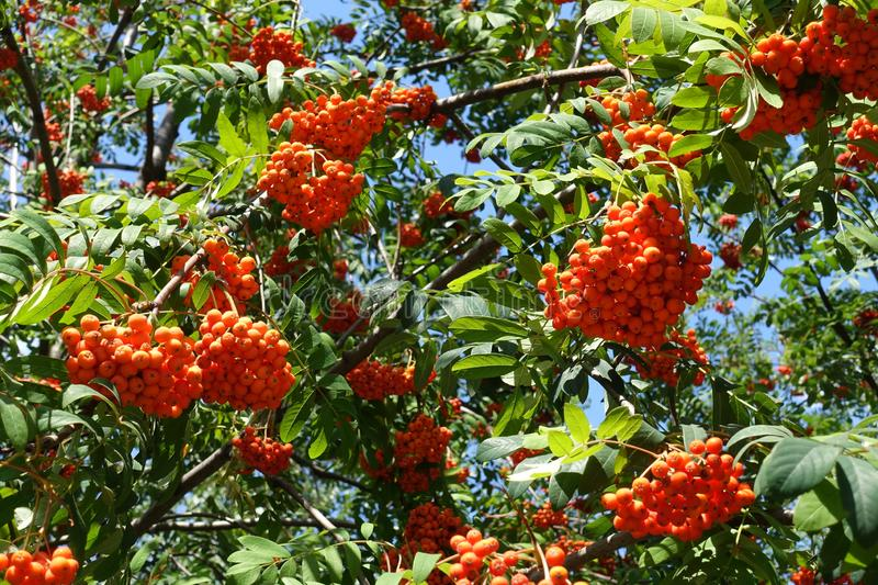 Branches of rowan with green leaves and reddish orange fruits against blue sky royalty free stock photography