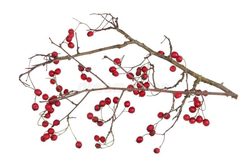 Branches sèches d'hiver d'aubépine de forêt avec les baies rouges d'isolement images libres de droits