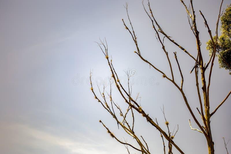 Branches sans feuilles d'un eucalyptus de la mort image libre de droits