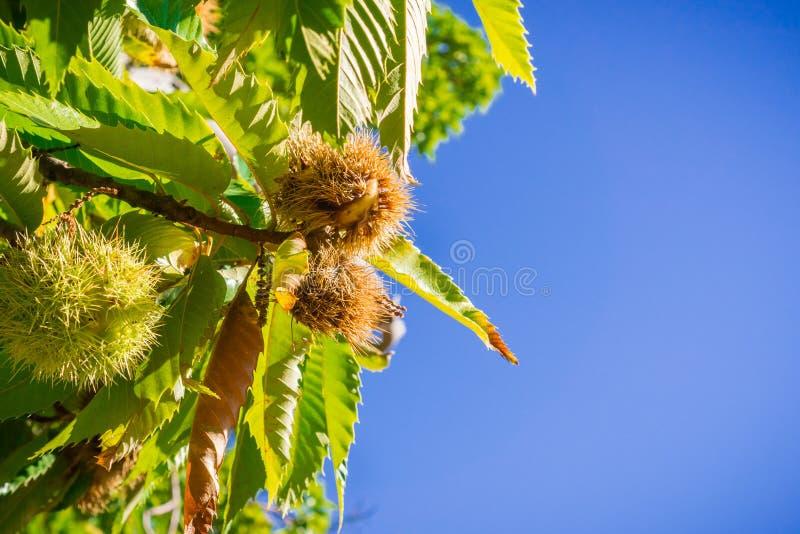 Branches sativa de Castanea de châtaignes douces avec les graines mûres dans les coquilles en épi protectrices photos stock