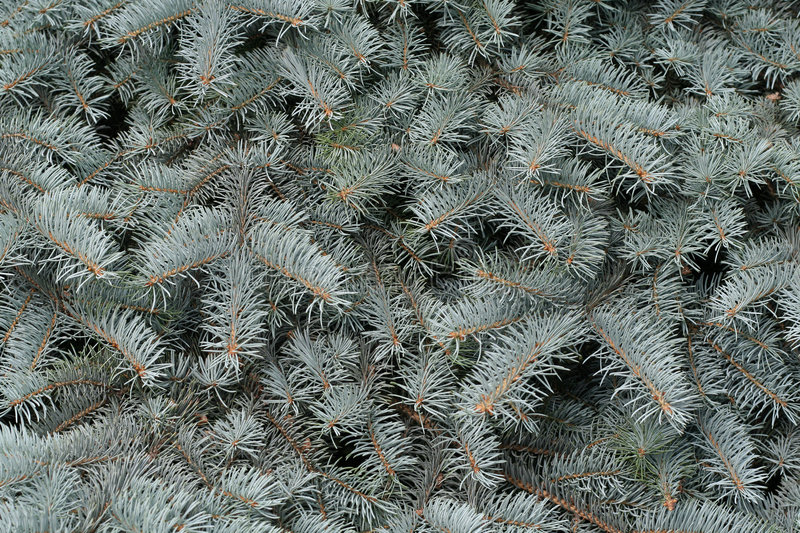 Download Branches Of A Silvery Fur-tree Royalty Free Stock Images - Image: 6837959