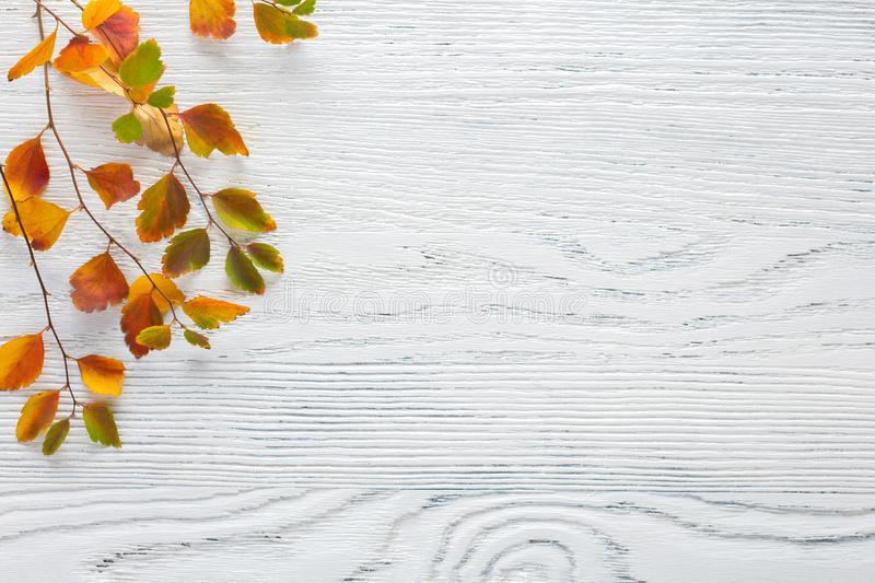 Branches with small colorful autumn leaves Spiraea Vanhouttei on white wooden background with empty space for text or image. Flat. Lay royalty free stock photo