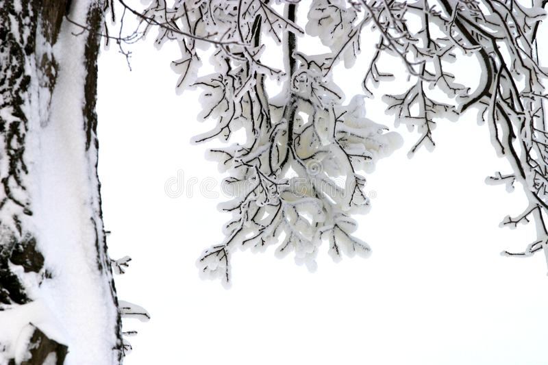 Branches in snow royalty free stock photo