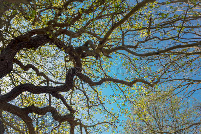 Branches in spring from below with blue sky royalty free stock photography