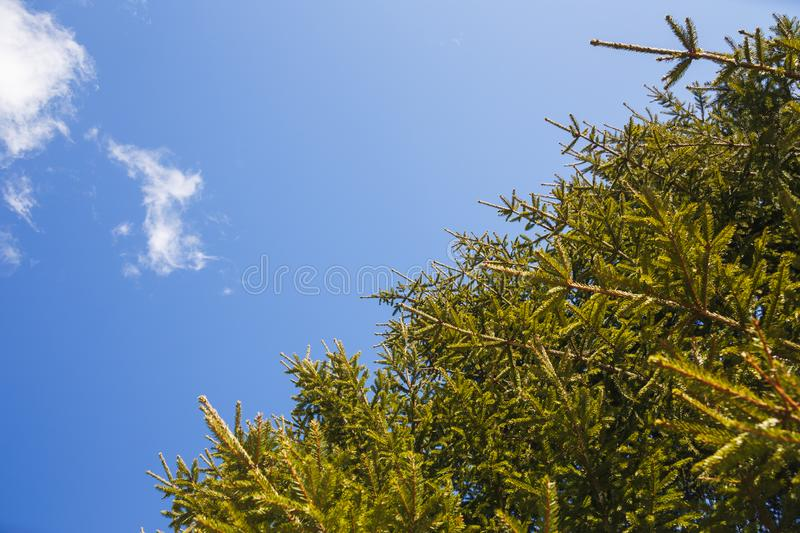 The branches of spruce against the blue sky royalty free stock photo