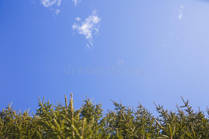 The branches of spruce against the blue sky royalty free stock image