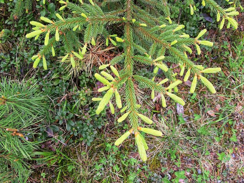 Branches of spruce where the light green/yellow green illuminates the image stock photo