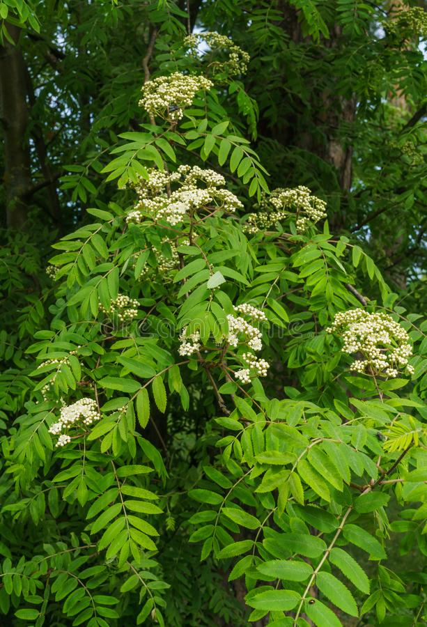 Branches in the still not blossoming flowers of mountain ash.  royalty free stock photography