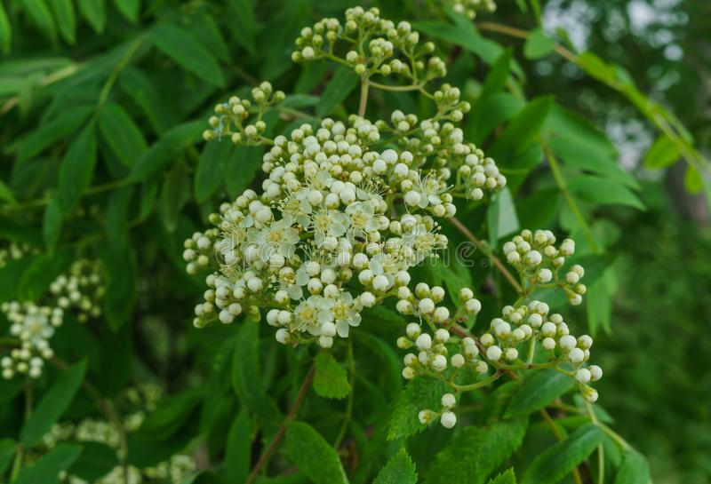 Branches in the still not blossoming flowers of mountain ash.  royalty free stock image