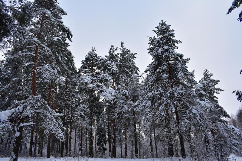 The branches of tall trees barely withstand the load of snow. Trees in snow and frost. How beautiful the winter forest looks royalty free stock photo