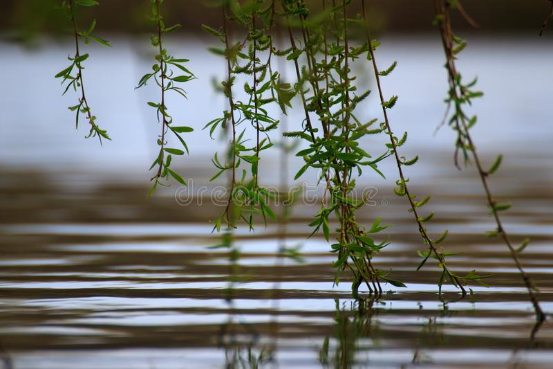 Branches touching the river surface royalty free stock photography