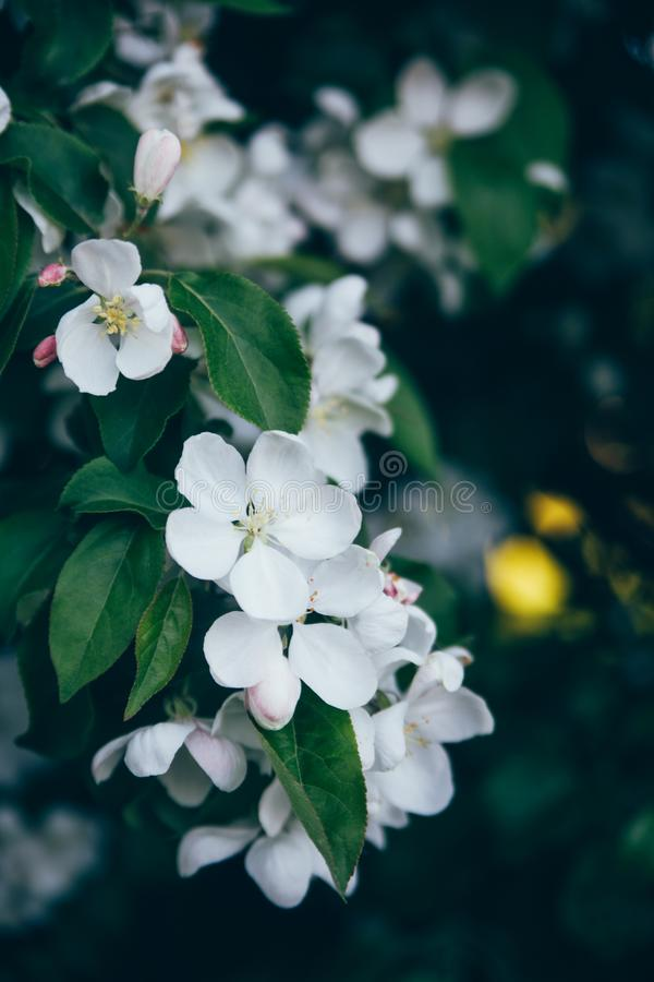 He branches of a tree with blossoming Apple trees royalty free stock photos