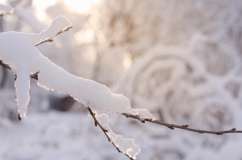 The branches of the tree are covered with snow in the rays of sunset sunlight. Beautiful winter landscape. royalty free stock image