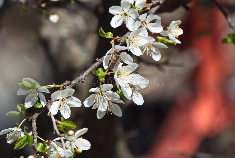 Branches tree flowers spring bees white petals nectar garden nature background royalty free stock image