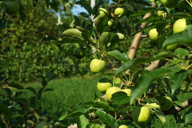 Branches of Granny Smith apple cultivar full of ripening fruits. Branches of a tree of the Granny Smith apple cultivar, full of ripening fruits. It is a quite a stock image