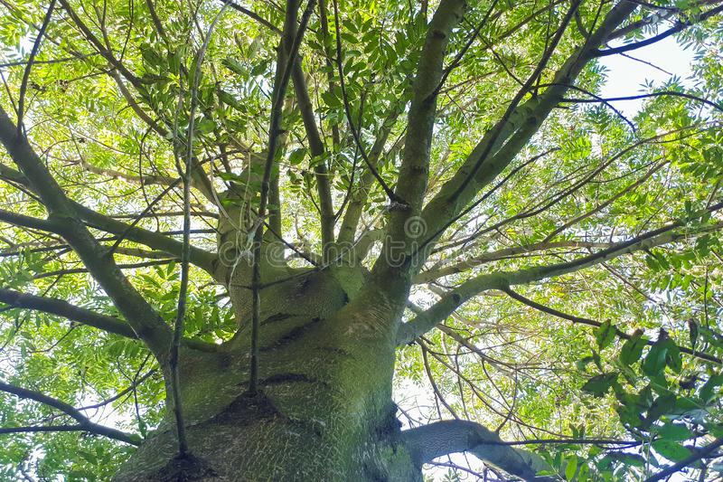 Branches of a tree seen from below. The camera is set at the trunk of the tree stock photos