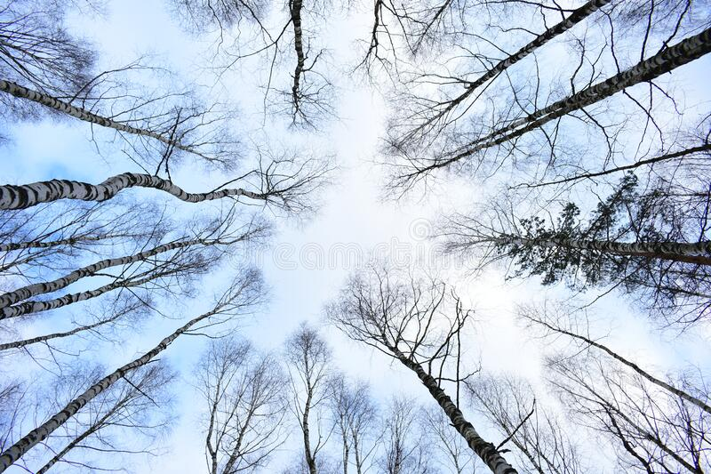 Through the branches of trees, the sky, the birch grove. White birch trunks, marked with dotted lines, intertwine with each other. As if pushing stock image