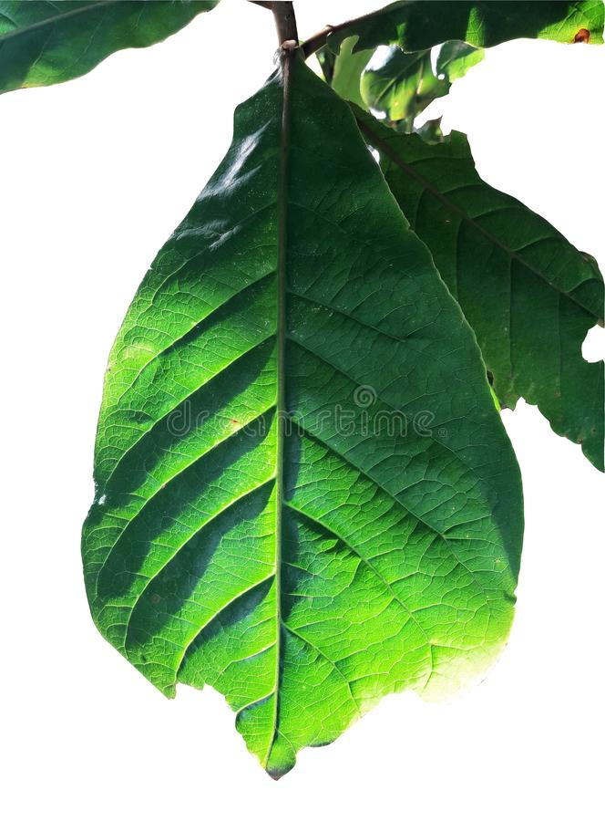 Branches Tropical foliage leaf with silhouette shot isolated on white background royalty free stock images
