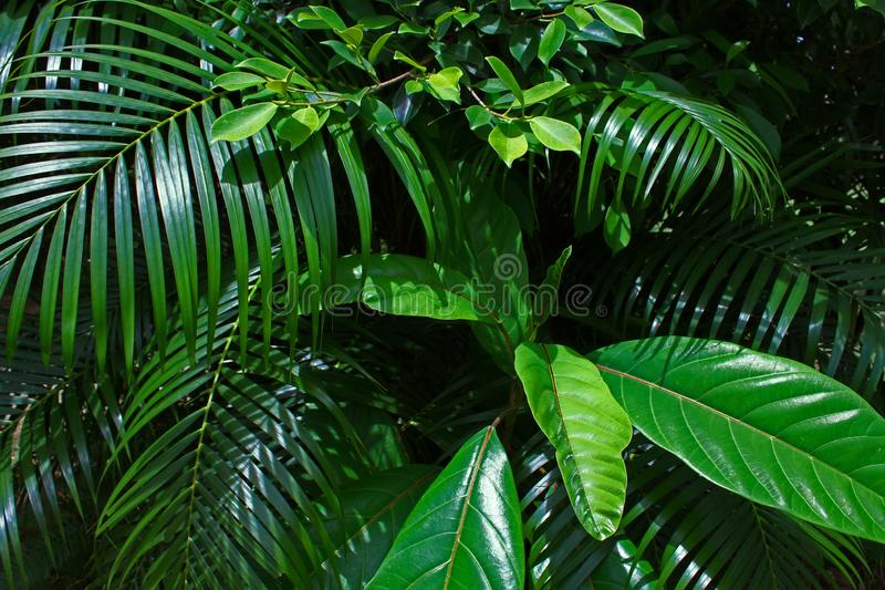 Branches Tropical Leaf Sunny Green Saturated Background. Branch Tropical Leaf Sunny Green Saturated Background Nature Natural Forest Plant Big Combined Bush stock images