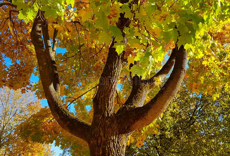 Branches and trunk with bright yellow and green leaves of autumn maple tree against the blue sky background. Bottom view royalty free stock photo