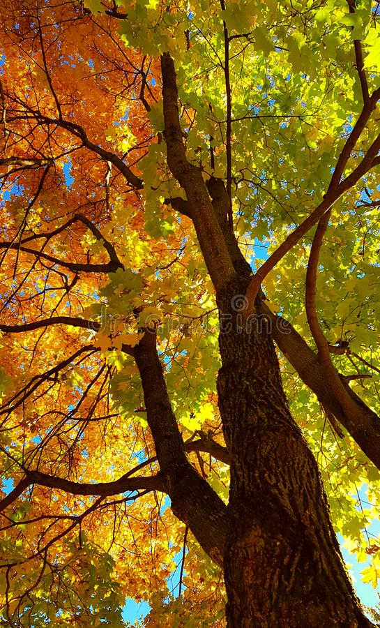 Branches and trunk with bright yellow and green leaves of autumn maple tree against the blue sky background. Bottom view stock photography