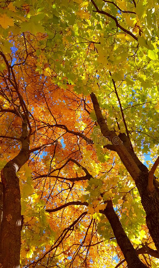 Branches and trunk with bright yellow and green leaves of autumn maple tree against the blue sky background. Bottom view stock images