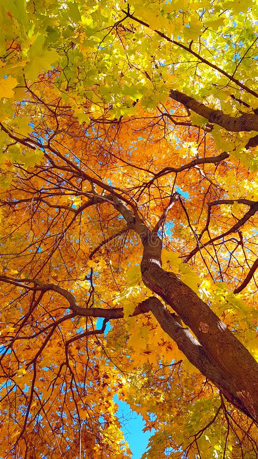 Branches and trunk with bright yellow and green leaves of autumn maple tree against the blue sky background. Bottom view stock photos