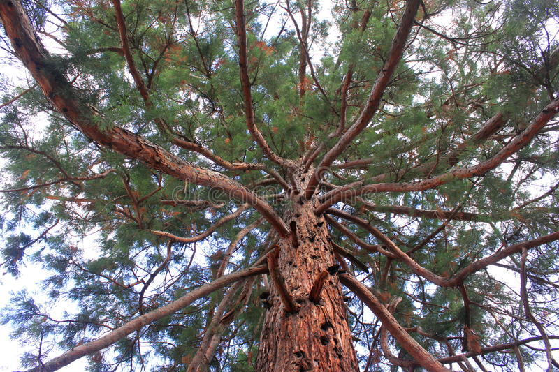 Download Branches And Trunk Of Sequoia Gigantea Stock Image - Image: 32260629