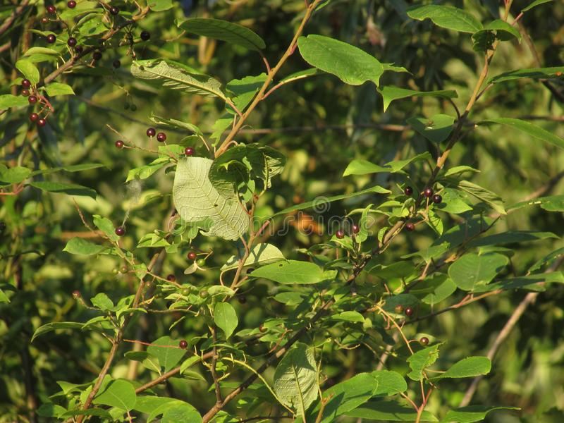 Branches of an unripe bird cherry surrounded by bright green summer leaves lit by the dawn sun with bright shadows. Branches of an unripe bird cherry surrounded royalty free stock image