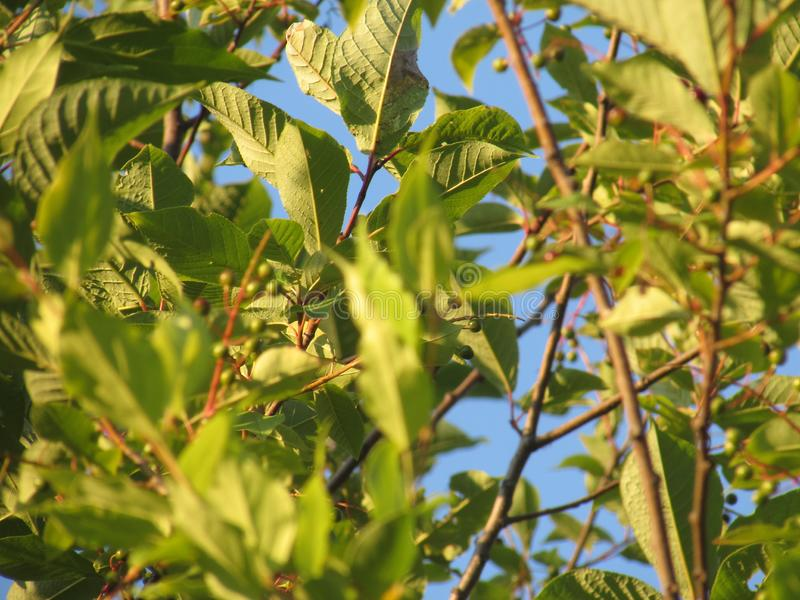 Branches of an unripe bird cherry surrounded by bright green summer leaves lit by the yellow dawn sun. Branches of an unripe bird cherry surrounded by bright royalty free stock photography