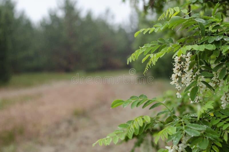 Branches vertes d'acacia avec les fleurs blanches dans la perspective des baisses de l'eau de forêt après la pluie Fond brouill? photos libres de droits