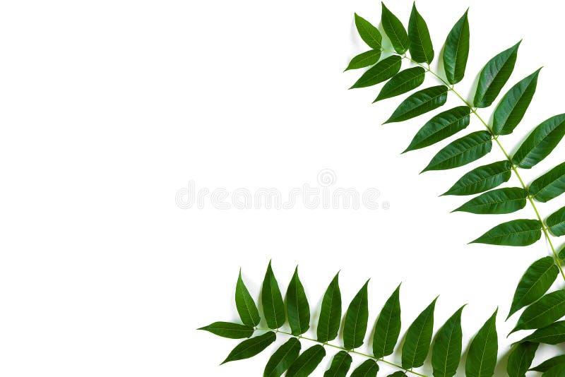 Branches vertes de feuille sur le fond blanc Configuration plate, vue supérieure photo stock