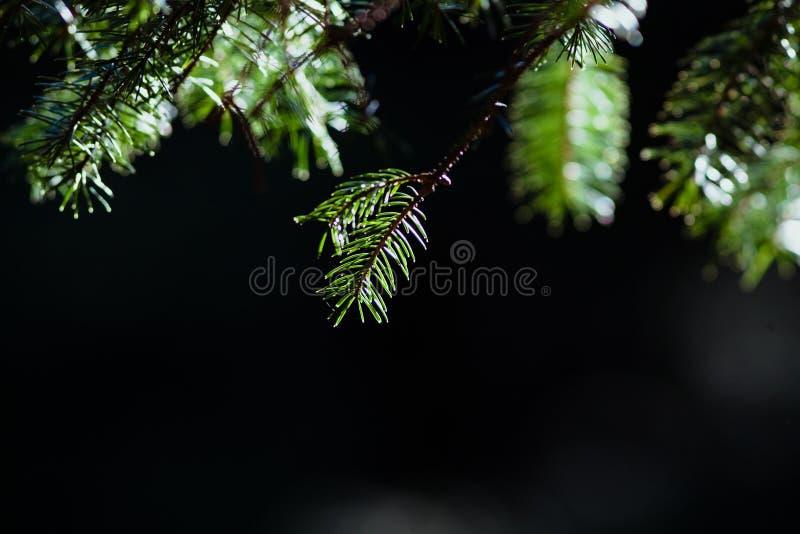 Branches vertes de fourrure - bokeh photos stock
