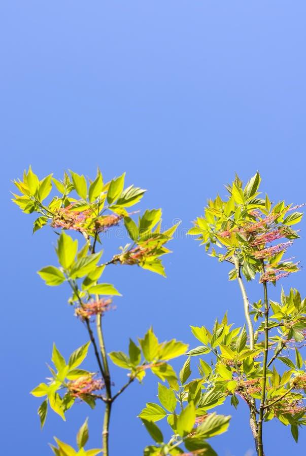 Branches vertes de l'arbre de ressort sur le fond de ciel bleu Usine de negundo d'Acer image libre de droits
