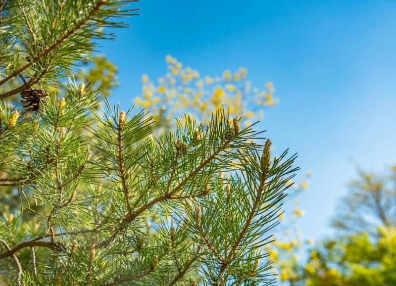 Branches vertes de pin avec de jeunes cônes image libre de droits