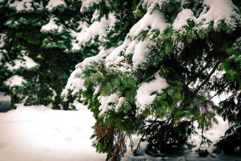 Branches vertes des sapins couverts de neige pelucheuse blanche Fin vers le haut photographie stock