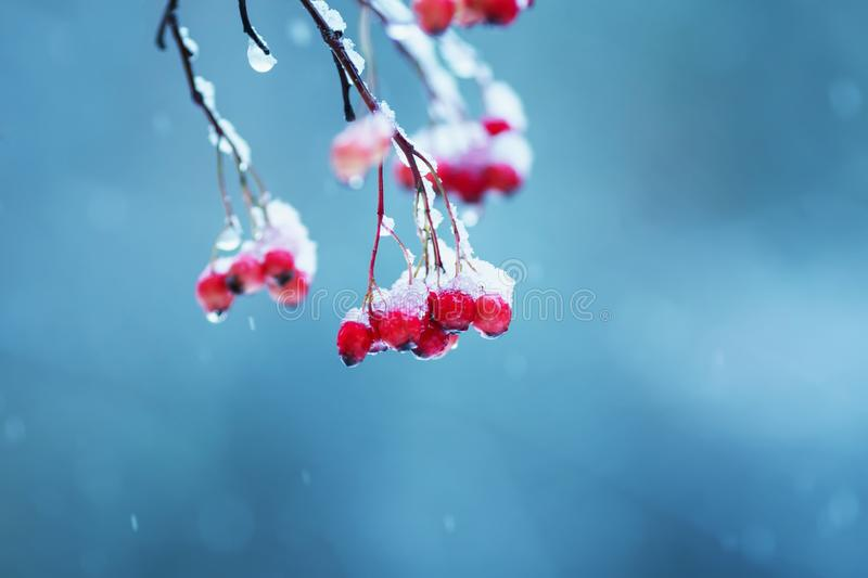 branches of viburnum tree with bright juicy red clusters of berries covered with ice and snow during a cold rain in the winter ga royalty free stock images