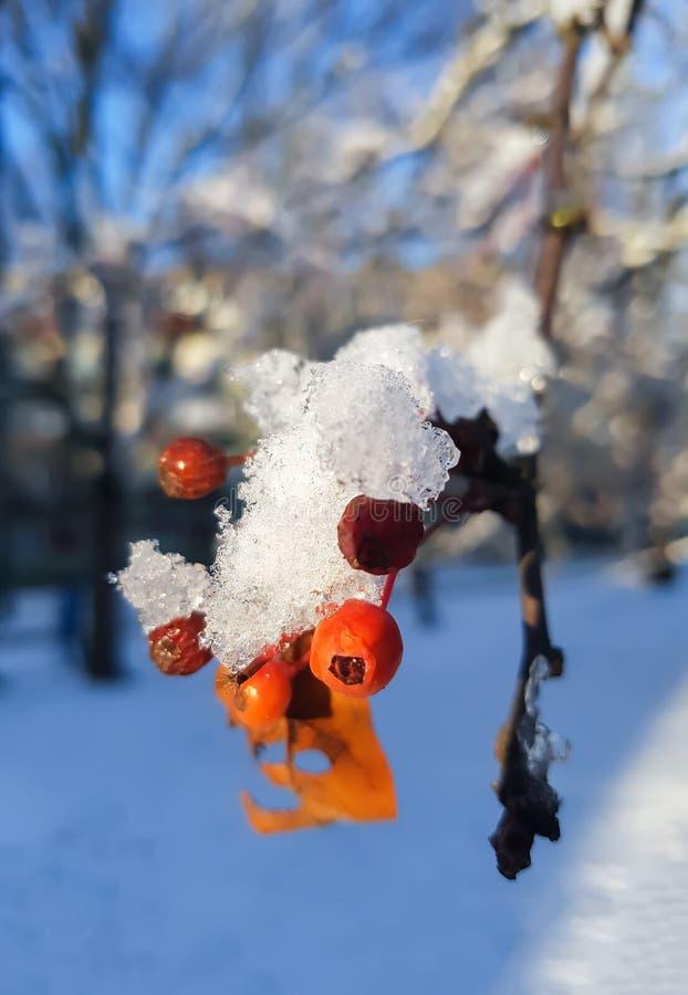 Viburnum tree stock photo