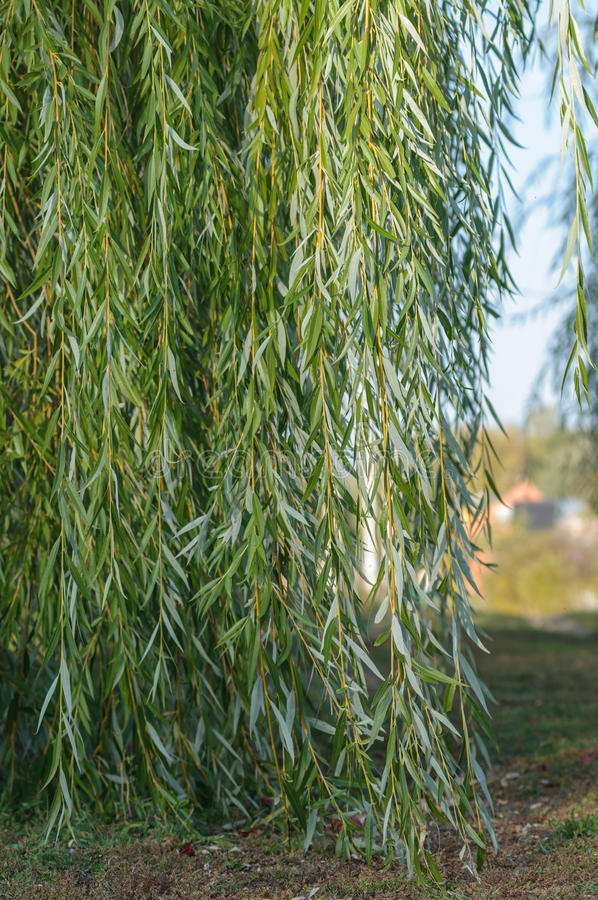 The branches of the weeping willow stock photography