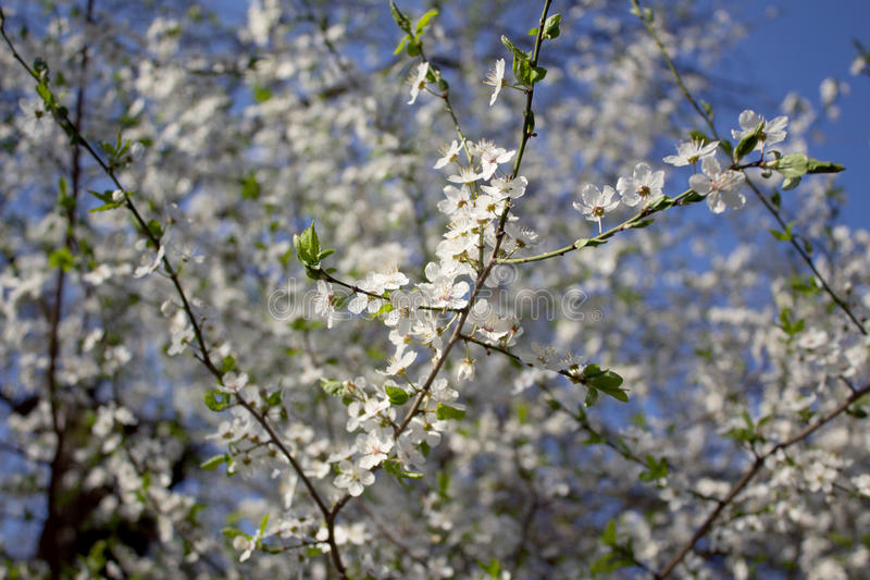Branches with white flowers in bloom stock images