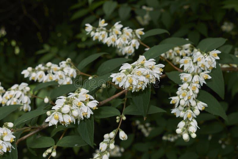 White blossom of Deutzia shrub royalty free stock photo