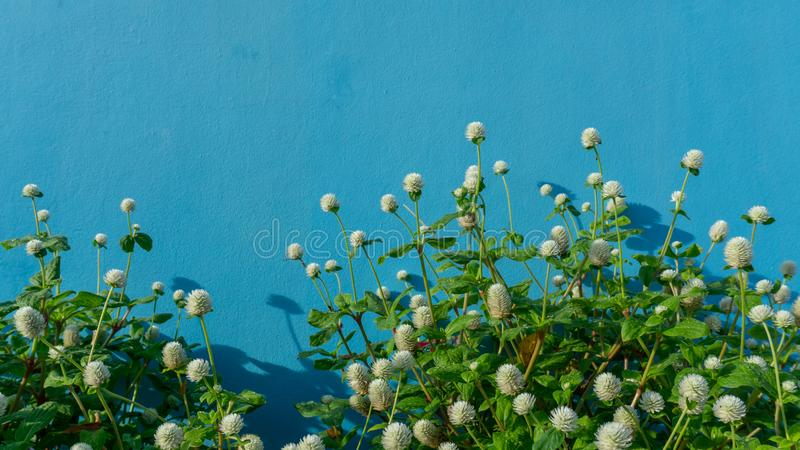 Branches of white petals of Pearly everlasting flower blossom on greenery leaves, blue color concrete wall background. Know as Bachelor`s button, Globe royalty free stock photos